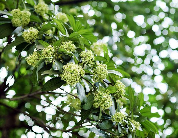 Hoa sữa mùa thu Hà Nội