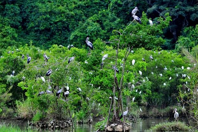 chim rừng thung nham cúc phương