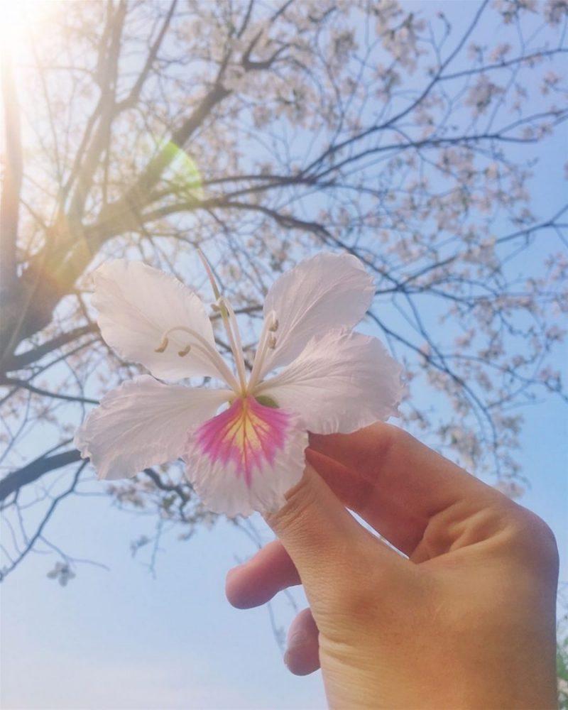 hoa ban điện biên