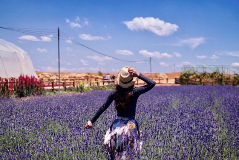 Cánh đồng Lavender đồi chè Cầu Đất