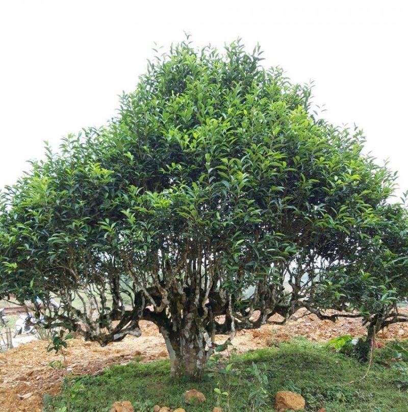 Hình ảnh cây chè cổ thụ ở Suối Giàng được công nhận là Cây Di sản Việt Nam.