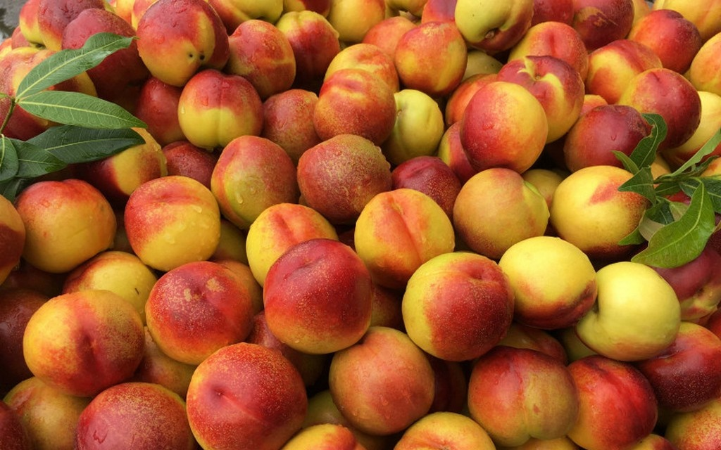 ự tay hái những trái đào chín mọng