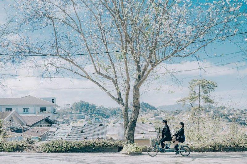 Cánh đồng hoa ban trắng đường Quang Trung