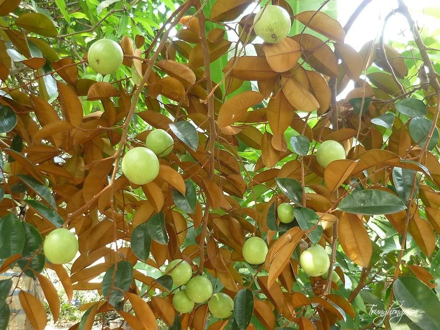 Miệt vườn Vĩnh Kim - một trong những vườn trái cây lớn của Tiền Giang