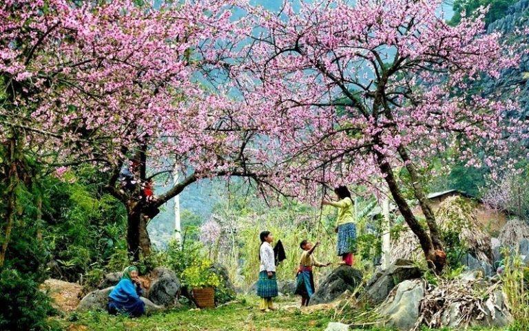 Mùa Xuân Sapa ngập trong sắc mận, sắc đào