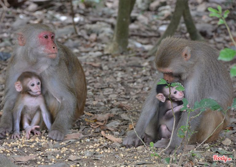 Khỉ mẹ chăm sóc cho khỉ con tại Đảo Khỉ Cần Giờ