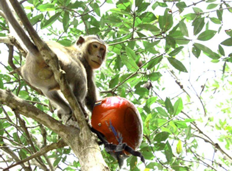 Chú Khỉ đã nhanh tay lấy trộm được chiếc nón bảo hiểm từ một du khách :((