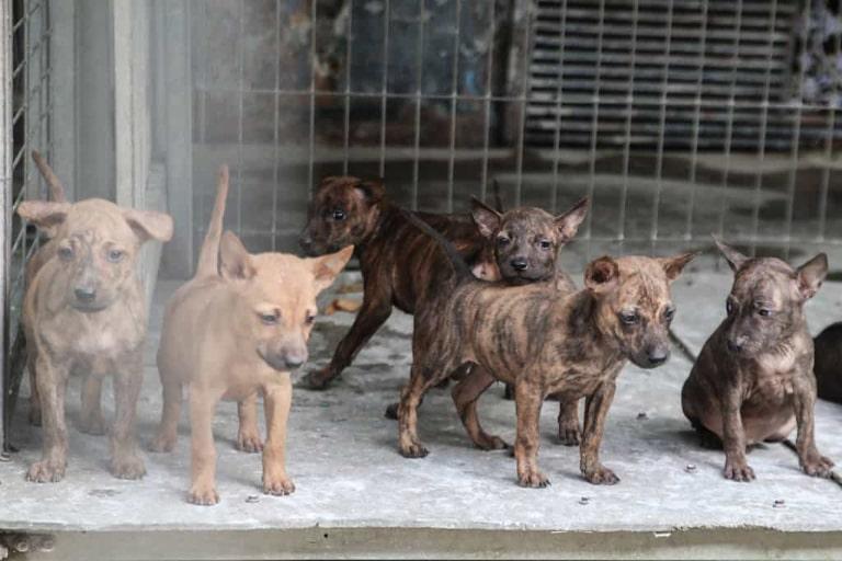 Giống chó đặc trưng của đảo ngọc Kiên Giang