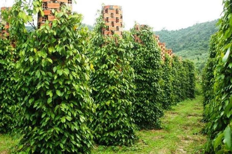 Tiêu Phú Quốc được trồng bạt ngàn như những cánh rừng