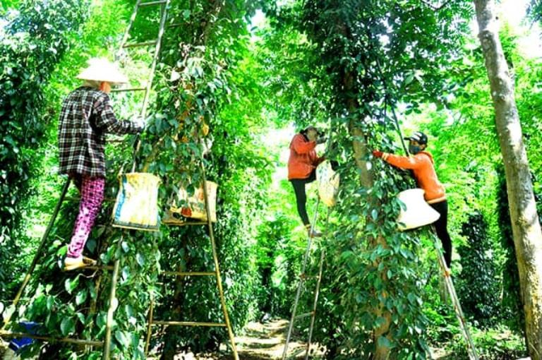 Tiêu ở Phú Quốc được trồng đầu tiên bởi người Hải Nam