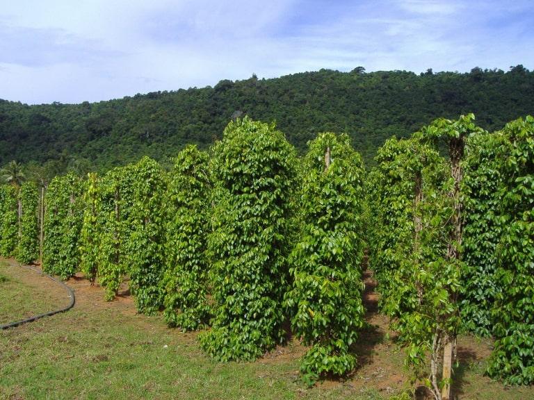 Khu vực trồng tiêu lớn và nhiều nhất ở đất đảo