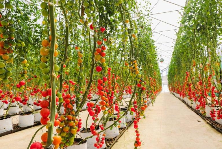 Những quả cà chua bi trông rất đẹp mắt