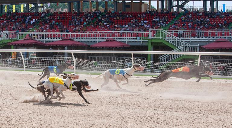 Những chú chó sải bước hết mình trên trường đua chó